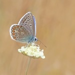Common Blue Restharrow butterfly