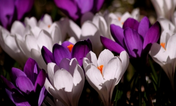 Purple and Lilac crocus flowers