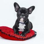 French Bulldog on pillow