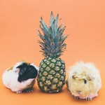 Guinea Pigs with pineapple