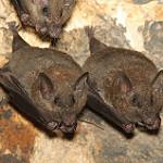 two lesser long nose bats
