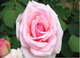 Photograph of a pink rose flower