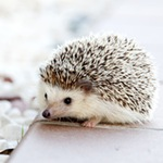 Pygmy Hedgehog on tiled floor