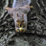 Squirrel laying on tree branch