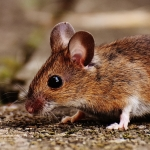 Brown mouse on stone floor
