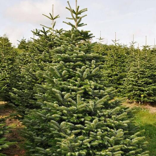 7 foot Christmas tree in a field with other trees