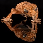 Brown Gecko on reflective surface